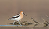 Out for a Stroll (Amy Hudechek Photography) Tags: avocet migration colorado spring amyhudechek nikond500 nikon600mmf4 lake water reflection wildlife nature