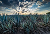 Agaves (Fernando MarLo) Tags: agave agaves tequila mezcal paisaje atardecer landscape