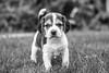 Those Puppy Dog Eyes (Thomas Hawk) Tags: america bayarea california eastbay piedmont usa unitedstates unitedstatesofamerica westcoast beagle bw dog puppy fav10 fav25