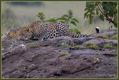 Mara Leopard 4269 (maguire33@verizon.net) Tags: africa cat kenya maasaimara leopard wildlife riftvalley ke