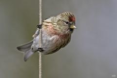 Redpoll (Acanthis cabaret) (Edymobeel) Tags: redpoll acanthiscabaret bird red brown black yellow white string wildlife staffordshire nikond850 nikon d850 500f4