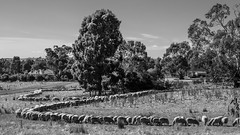 Sheepish Behaviour - Colac, VIC (djwillia3333) Tags: forrestvictoria colac sheep monochrome fujifilm xt2 fujinon xf 56mm f12