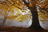 Autumn Sensations (Hector Prada) Tags: bosque forest niebla fog bruma mist otoño autumn tree árbol hayedo beech atmósfera mood magic mágico dorado golden luz light naturaleza nature paísvasco basquecountry