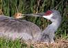 Here I Am! (PeterBrannon) Tags: bird crane florda florida gruscanadensis nature nest polkcounty sandhillcrane tallbird wildlife babybird babycrane colts