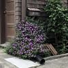 Pretty Drainpipe (Melinda Stuart) Tags: house flowers drain runoff water garden shrub mailbox shingle ca historic berkeley brown sidewalk walk green purple number door