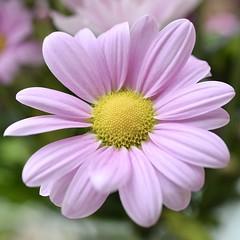 Delicate daisy (MJ Harbey) Tags: daisy pinkdaisy flower nikon d3300 nikond3300 asteraceae bellis plantae bellisperennis petals