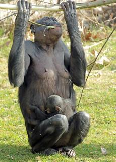 Bonobo Apenheul BB2A1690