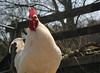 IMG_3090 (markcarne) Tags: markcarnecouk markgeorgecarne weald downland museum cockerel bird