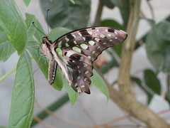 P4190150 (Steve Guess) Tags: horniman museum butterfly forest hill london england gb uk