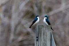 Let's talk (Plump Panda Photography) Tags: 14extender lakerenwickpreserve nature birds primelens 300mm 6d canon