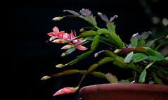 41/118 - Earth day (PaulE1959) Tags: 41118earthday 41118 earthday schlumbergeratruncata nikon d5200 flower cactii