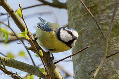 Blue Tit (DougRobertson) Tags: arne rspb bird birdwatcher wildlife animal nature