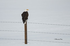 Bald Eagle on Post (Canon Queen Rocks (2,060,000 + views)) Tags: birds bird birdsofprey birdofprey talons eagle baldeagle adult wildlife wings wild nature raptors post pose perched snow whitehead feathers large momentsbycelinecom