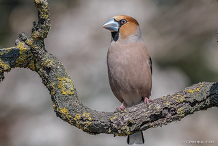 Coccothraustes coccothraustes ( Frosone, Hawfinch).