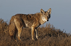 Coyote Stare (tomblandford) Tags: coyote pointreyescoyote wildlifeofthewest conservation protecttheenvironment protectpubliclands protectwildlife californiawildlife californiacoyote