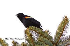 IMG_4139 (nitinpatel2) Tags: bird nature nitinpatel