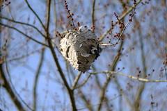 _DSF3376 (Vladimir Gazoukin) Tags: canada country simcoe sky vladimirgazoukin nature nest bokeh tree spring