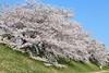 Good day (Teruhide Tomori) Tags: kyoto riverside kamoriver japon japan flower sakura cherry spring nature landscape 京都 鴨川 春 桜 日本 花 風景 blossom tree