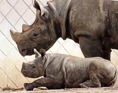 black rhino Mara and Naima Blijdorp BB2A8115 (j.a.kok) Tags: neushoorn rhino rhinoceros animal africa afrika zwarteneushoorn blackrhinoceros blackrhino puntlipneushoorn mara naima mammal zoogdier dier herbivore blijdorp