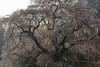 又兵衛桜 (tsuguakinara) Tags: japan nara nature spring cherryblossoms canon eos 5dmark3 5d 5dmk3 日本 奈良 桜