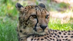 Cheetah (Márk Poósz) Tags: cheetah acinonyxjubatus feline zoo
