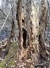 woodpecker work (Stylurus) Tags: prairie oaks michigan lodi township tree pileated woodpecker bird work