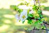 Flowering quince in Koishikawa Korakuen (Dakiny) Tags: 2018 spring march japan tokyo bunkyoward koishikawa city street park koishikawakorakuen plant tree flower chaenomeles macro bokeh nikon d750 nikonclubit