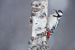 Great Spotted Woodpecker (Daniel Trim) Tags: great spotted greater wood pecker woodpecker dendrocopos major bird birds birding nature animals sweden scandinavia european photo conny lundstrom lundström kalvträsk skellefteå skellftea winter snow snowy snowing tree
