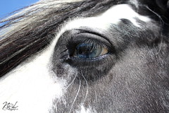 Santana (Nkp. Fotografie) Tags: pferde horses reiten weide koppel rassen tiere wiese butter blumen mohn blau himmel fotografie augen makro fisch farben bunt