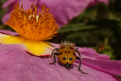 Trichodes octopunctatus HBBBT!!! (bego vega) Tags: trichodes octopunctatus coleoptera coleóptero beetle escarabajo insect insecto animal cleridae jara cistus hbbbt bbbt macro madrid vf jardín bego vega veguita bv begovega cistusxpurpureus