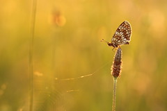 altra dal campo dei miracoli (@5imonapol) Tags: butterfly bokeh gold wings sunset sun light macro may spring life