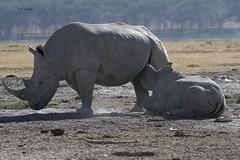 White Rhino nursing (featherweight2009) Tags: whiterhinoceros ceratotheriumsimum squarelippedrhinoceros rhinoceruses rhinos mammals africa