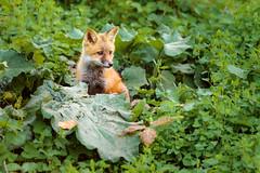 A growing kit (Beth Bennett & Gérard Cachon) Tags: mammal fox foxes cub kit zorro vulpes renard volpe raposa pennsylvania den cynwyd poisson ivy green red leaves trail eyes cute ears