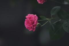 2018-05-25 06.03.38 1 (Phạm Lê Minh Mẫn) Tags: sonya7ii sonya7m2 sony 100mmf28stf 100mmf28 100mmf28stfgm flower fleur rose rosa macro closeup hoa nature beautiful