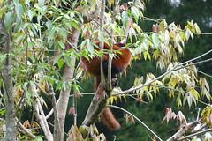 Red Panda in Sikkim Zoo (Ankur P) Tags: india sikkim eastsikkim gangtok mountains himalayas sikkimhimalayanzoologicalpark zoological park zoo redpanda himalaya