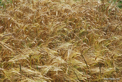 Пшениця, жито, овес InterNetri  Ukraine 033
