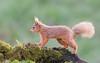 Red Squirrel (2 of 5) (tickspics ) Tags: ringford dumfriesgalloway squirrels scotland uk redsquirrel mammalia rodentia sciuridae sciurusvulgaris