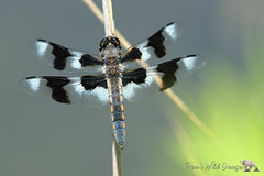 Black & White (PamsWildImages) Tags: dragonfly nature wildlife bc canada pamswildimages eightspottedscimmer vancouver georgereifelbirdsanctuary