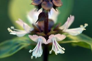 Fleurs de Basilic en pleine nature