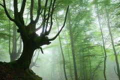 Guardians of the forest (Hector Prada) Tags: forest bosque niebla fog tree árbol atmósfera atmosphere mood moss musgo enchanted encantado dreamy magic roots raices spring primavera paísvasco basquecountry