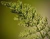 Natural - Macro Mondays (Kreative Capture) Tags: macromonday macromondays dof leaves macro hmm allnatural natural texture yarrow fern green leaf outside backlit sunlight nikkor nikon d7100