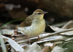 Swainson's Warbler (PeterBrannon) Tags: bird florida fortdesoto limnothlypisswainsonii migration nature pinellas swainsonswarbler wildlife