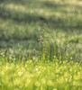 Bokeh In The Weeds-HBW! (Jo Zimny Photos) Tags: bokeh bokehwednesdaytoo bokehwednesdays grass dew morning green weeds inthefrontyard