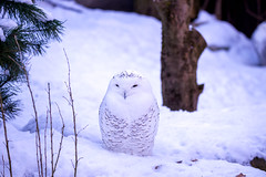 Can you see me? Are you sure? (Andriy Golovnya (redscorp)) Tags: snowy owl snowyowl schnee eule schneeeule munich münchen hellabrunn zoo bayern bavaria deutschland germany sunny cold day