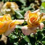 Lebrija: rose thumbnail