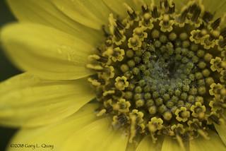 Balsamroot Flower, Rowena, Oregon