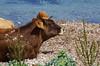 187 - Cap Corse, sur le sentier des douaniers au nord de Macinaggio, tranquille ruminage devant la tour génoise de la Rade de Santa Maria (paspog) Tags: corse capcorse sentierdesdouaniers macinaggio radedesantamaria vache cow
