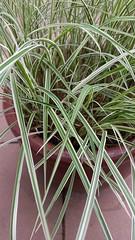 Green ornamental grass (D70) Tags: green ornamental grass samsung smg900w8 ƒ22 48mm 1127 40 more gardening maiden grasses grow