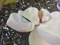The Elusive Southern Magnolia Blossom - h (SouthernBreeze) Tags: 2018 magnolia blossom flower evergreen tree fragrance beauty white sooc i6 iphoneography light travel trip family fun friends art