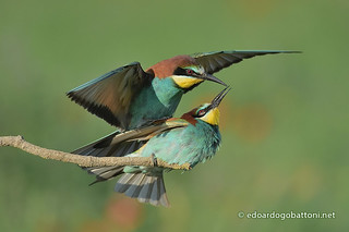 bee-eaters in love #2